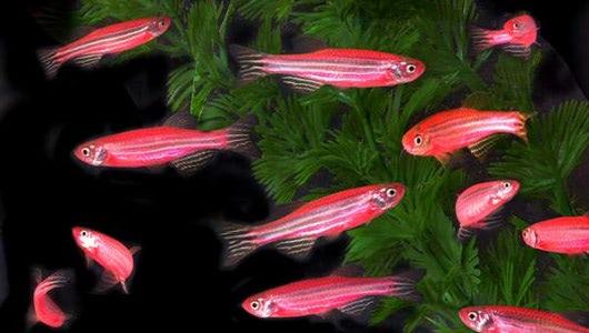 Visual of GloFish