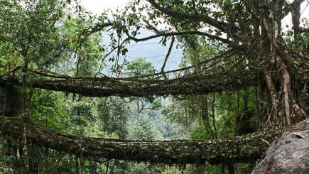Visual of Living Root Bridges