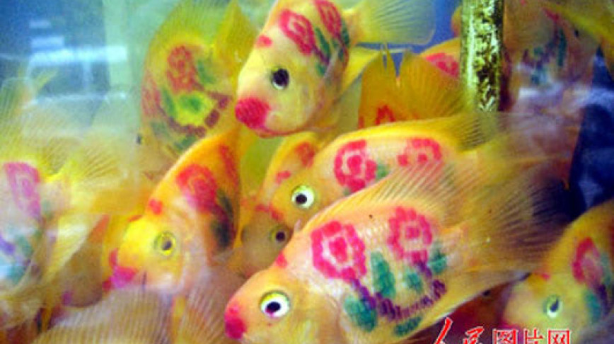 Visual of Tattooed Goldfishes