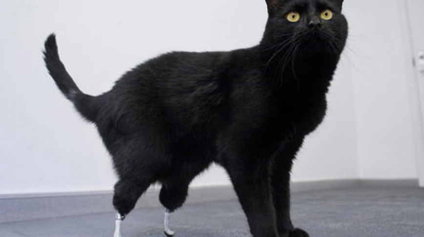 Visual of Injured Cat gets Bambi-style prosthetics