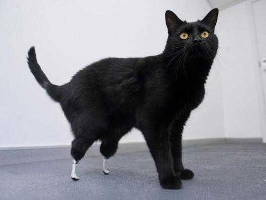 Visual of Injured Cat gets Bambi-style prosthetics