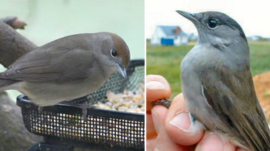Visual of Birdfeeders spit Blackcaps in two species