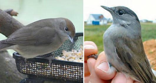 Visual of Birdfeeders spit Blackcaps in two species