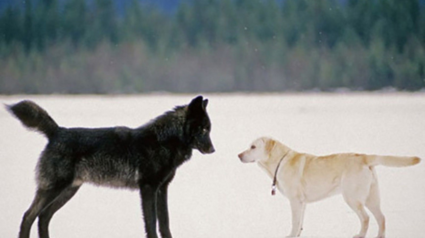 Visual of Black Wolves Have Dogs to Thank