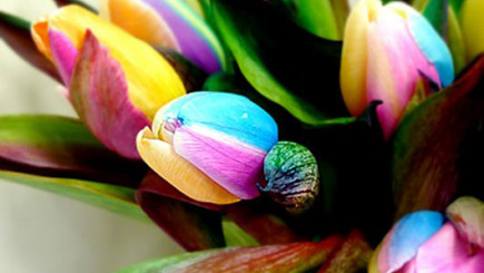 Visual of Rainbow Tulips
