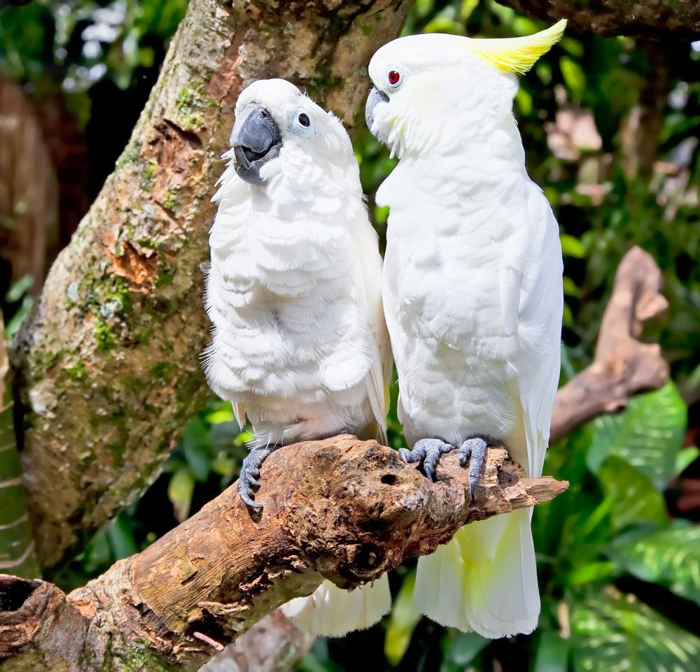 Visual of Escaped Pet Birds Teach Wild Cockatoos how to Talk