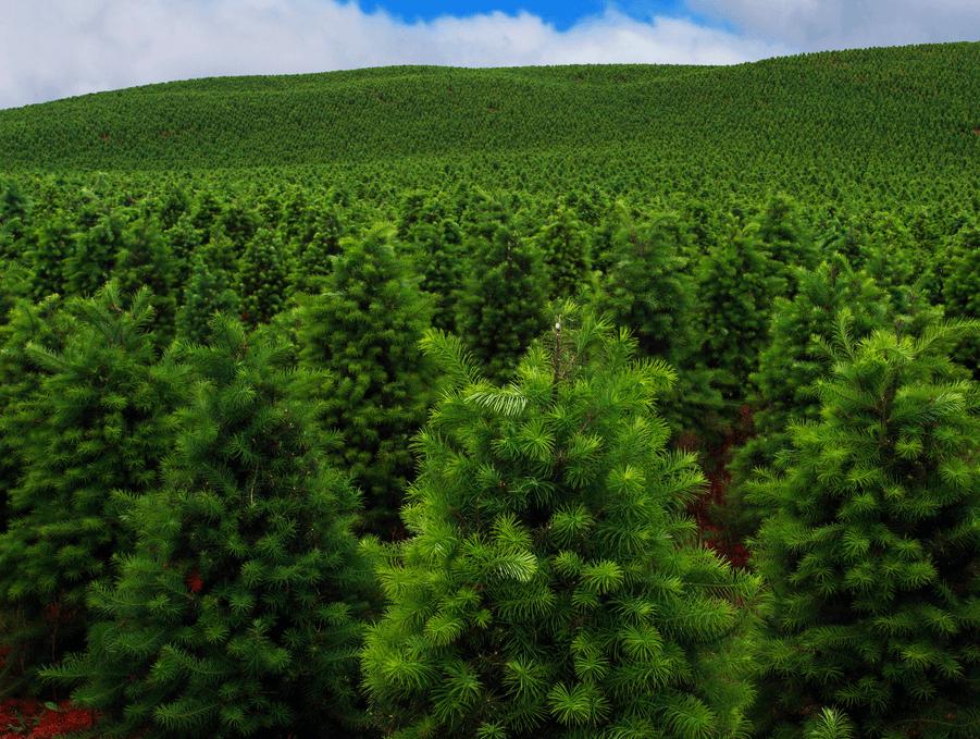 Visual of Genetic Screening for Christmas Trees