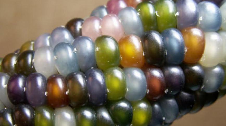 Visual of Glass Gem Corn Looks Like Jewelry