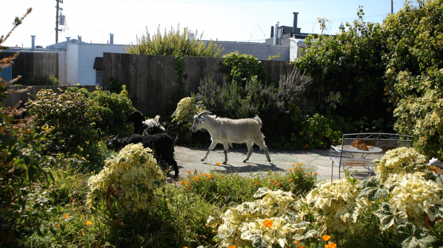 Visual of Goats Replace Lawnmowers in San Francisco