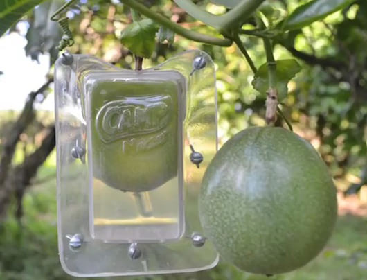 """Visual of Growing Fruit into Its Own """"Juice Box"""""""