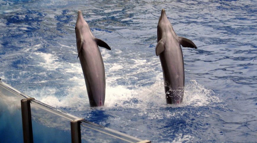 Visual of One Generation in, Dolphins Still Transmit Human Tricks