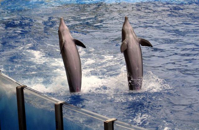 Visual of One Generation in, Dolphins Still Transmit Human Tricks