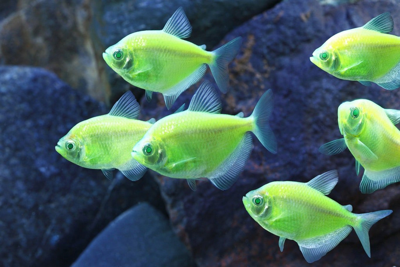 """Visual of Why It's Time to Calm Down about """"Invasive"""" GM GloFish"""