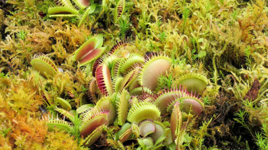 Visual of Carnivorous Plants Turn Vegetarian