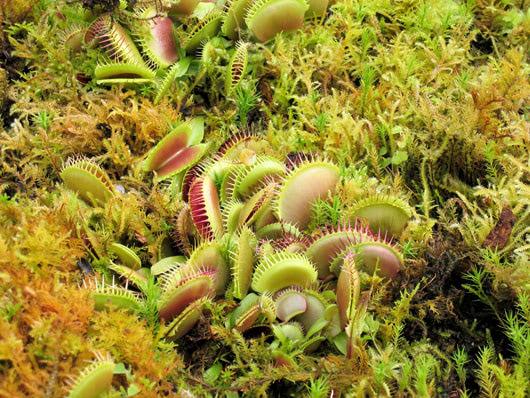 Visual of Carnivorous Plants Turn Vegetarian