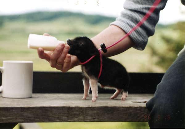 Visual of Pick Pig - Name Pig - Love Pig - Eat Pig