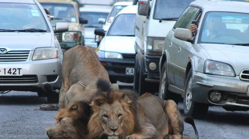 Visual of Lions Relax in Morning Traffic