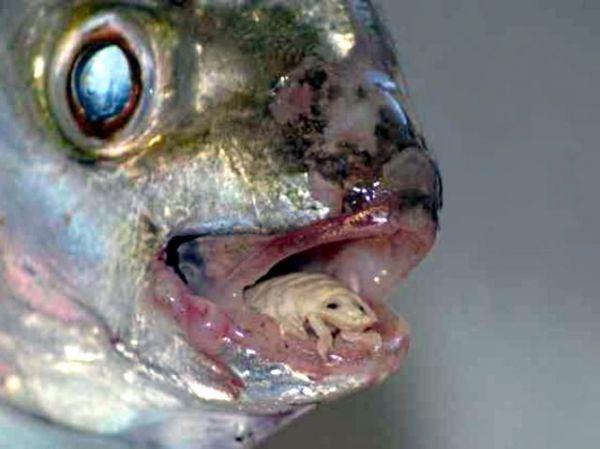 Visual of Meet The Tongue Parasite