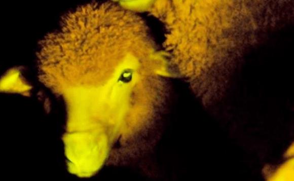 Visual of Modifying Milk and Glowing Livestock