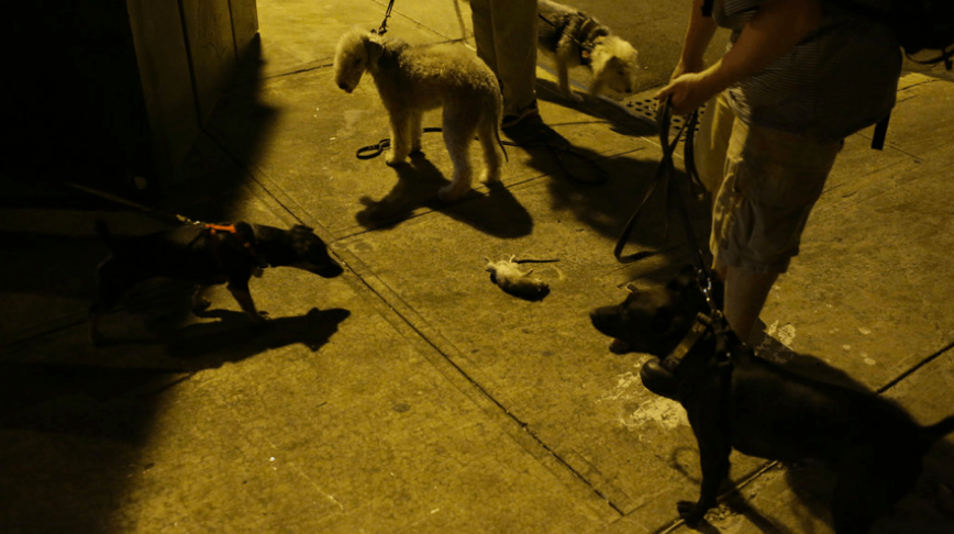 Visual of New York's Dogs Hunt for Dangerous Game: City Rats