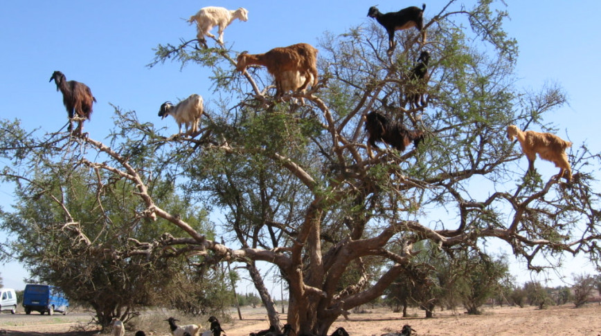 Visual of Next Natural Goats Adapt to Climb Trees