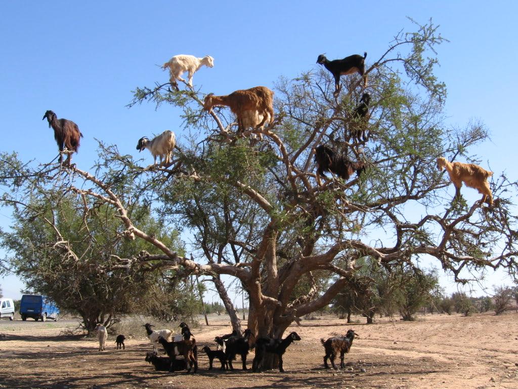 Visual of Next Natural Goats Adapt to Climb Trees