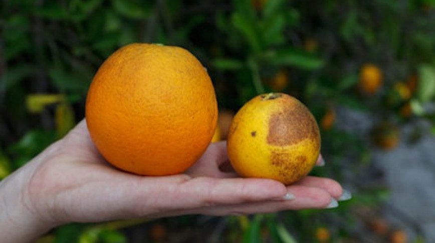 Visual of Oranges Are Going Extinct – Unless a Gene from Spinach Can Help