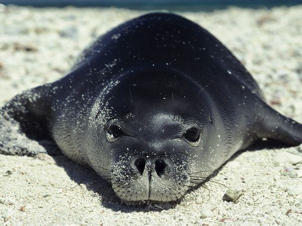 Visual of Are Hawaiian Monk Seals Natural? Not According to Some Hawaiians