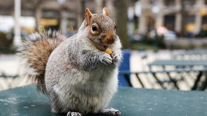 Visual of Squirrels Are in Cities to Keep Us Sane