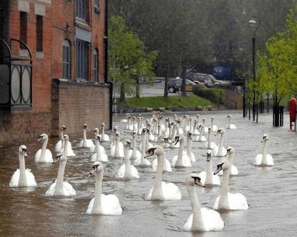 Visual of Swans Float through Flooded Streets