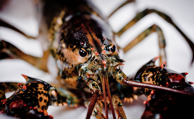 Visual of Why Are Lobsters Thriving in Maine?