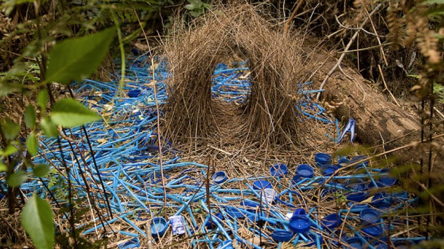 Visual of Bowerbirds' Plastic Love Nest