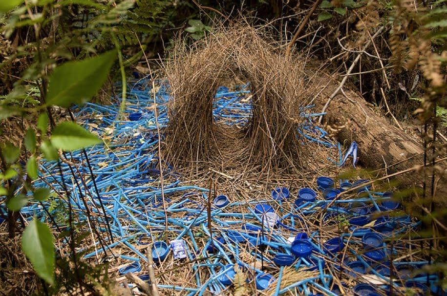 Visual of Bowerbirds' Plastic Love Nest