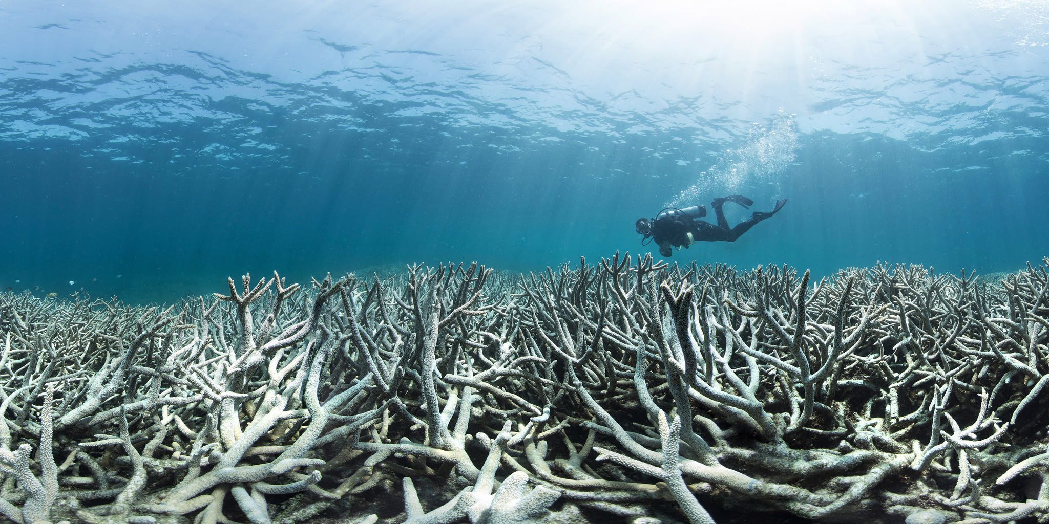 Visual of Colorless coral: How climate change is affecting the great barrier reef