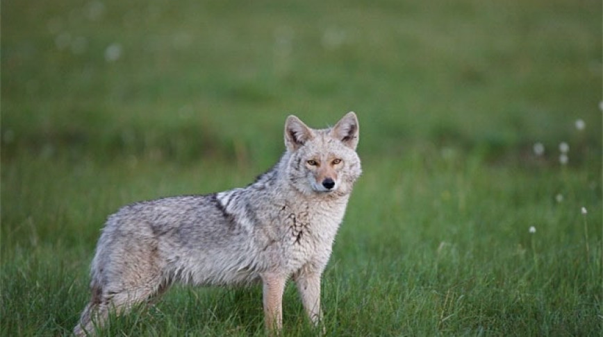 Visual of The Coywolf: 65% Wolf, 25% Coyote, 10% Dog