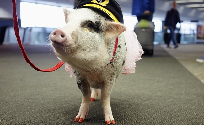 Visual of Lilou the Airport Pig Will Soothe Your Travel