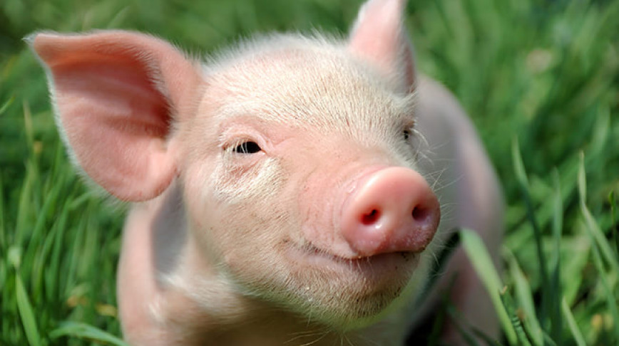 Visual of Pigs Have a Heart for Us