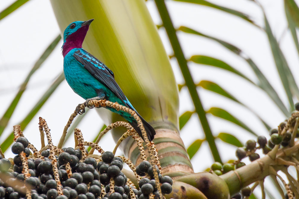 Visual of Color Lessons from the Cotinga Bird