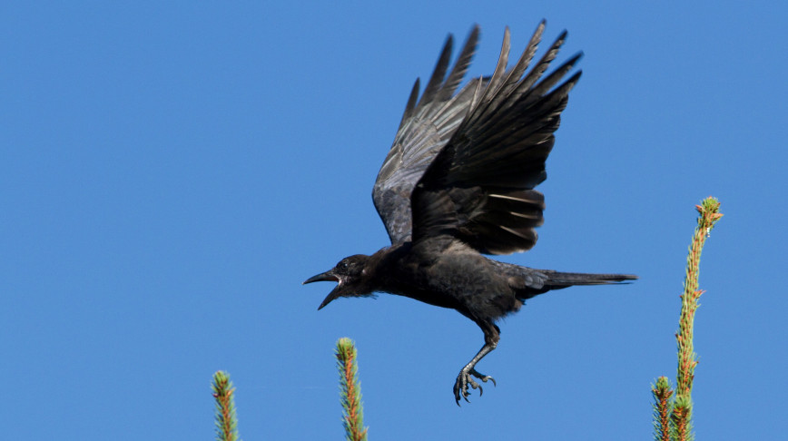 Visual of Teaching Crows to Clean Up Cigarette Butts