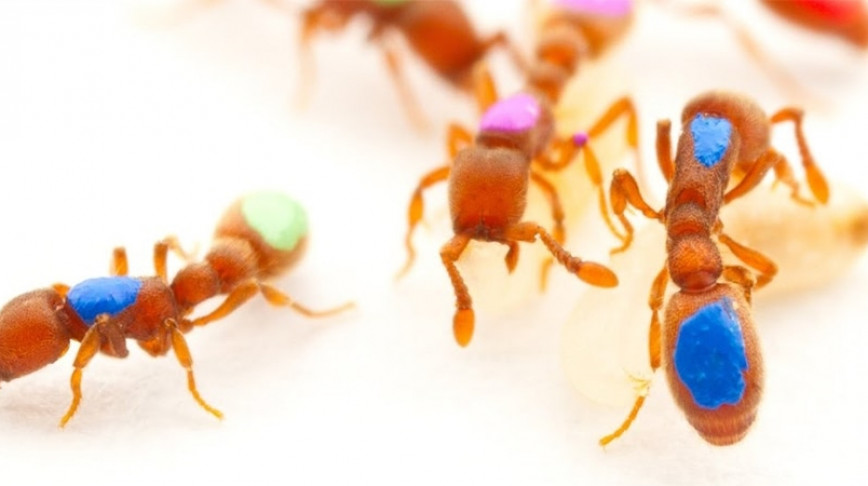 Visual of GM Ants Show How Insect Societies Work