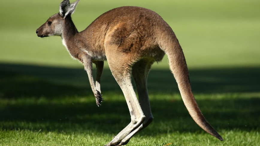 Visual of Kangaroos Confuse Self-Driving Cars