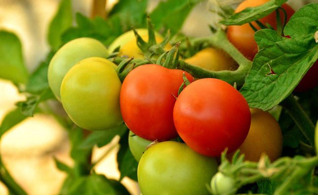 Visual of Making Tomatoes Tasty Again