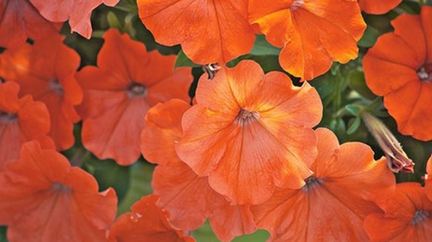 Visual of Orange Petunias Banned in Europe