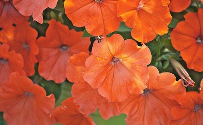 Visual of Orange Petunias Banned in Europe
