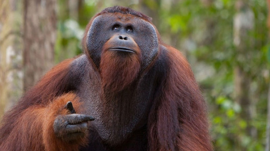 Visual of Tinder for Orangutans