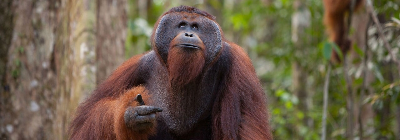 Visual of Tinder for Orangutans