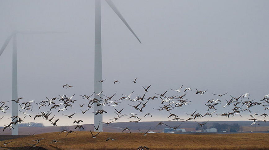 Visual of Wind Turbines Threatens Birdlife