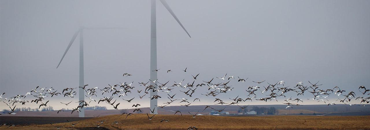 Visual of Wind Turbines Threatens Birdlife