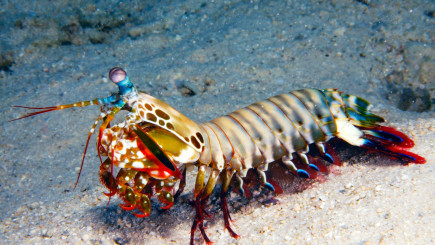 Visual of How a mantis shrimp can one day help build self-growing roads