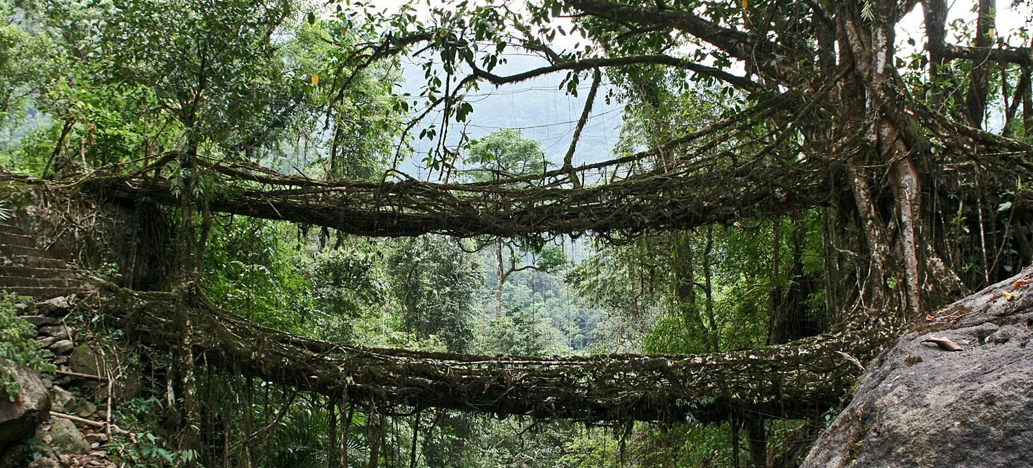 This living bridge is made of the roots of the Indian rubber tree